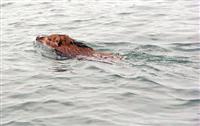 瀬戸内海を悠々と泳ぐイノシシ
