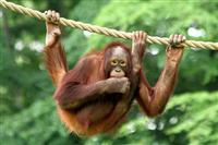 オランウータン殺し食べた男2人拘束 インドネシア