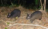 奄美大島でアマミノクロウサギ増える マングース駆除で成果