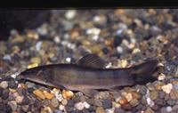 「京都スタジアム」建設により「アユモドキ」絶滅の可能性 日本魚類学会などが見直し要望