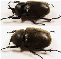 カブトムシの雄の角を、雌に生やすことに成功 性差決定の遺伝子抑制/名古屋大