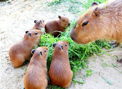 【動物】カピバラ:かわいいね五つ子赤ちゃん 市原ぞうの国で誕生
