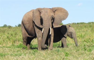 【生物】野生のアフリカゾウ、人間の言語を識別し脅威と見なしたものから遠ざかる術を身に着けた
