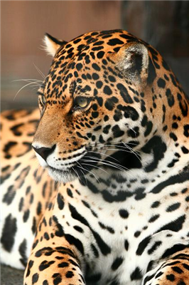 【動物】カザフの動物園、来園者の目前で小熊をジャガーの餌に。児童が大泣き