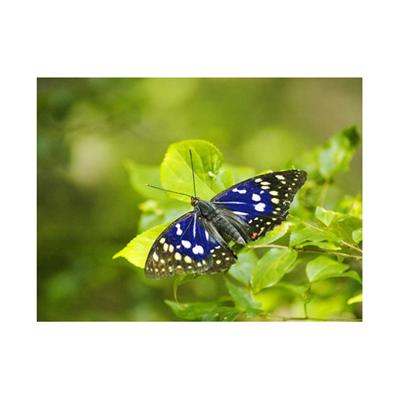 【生物】国蝶、「森の宝石」オオムラサキ、はばたきの時…京都(読売新聞)