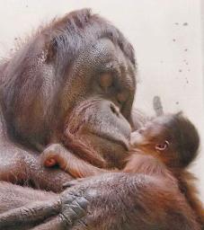 【マザー】オランウータン赤ちゃん釧路市動物園で4年ぶり誕生、母親は腕に抱いたまま片時も離さず
