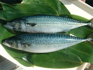 【経済】今年はアジがあまりとれず、マサバがとれるでしょう 水産庁発表