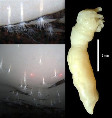 南極に新種イソギンチャク 棚氷下面に埋まって生息/米大学チーム発見