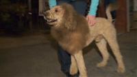 小さなライオンが街に出現、警察に通報…実はライオンカットの犬でした