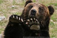 ゴリラと熊を戦わせてみたい