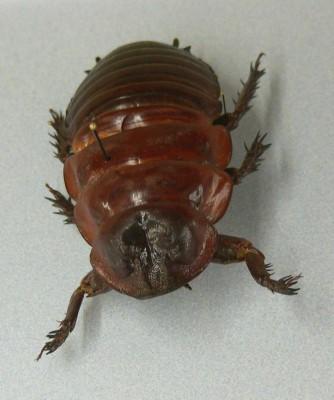 ゴキブリとかいうクッソ厨二心くすぐられるフォルムの昆虫