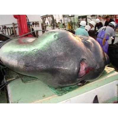 【生物】重さ1トン超のマンボウが網に 海に帰される 北海道・函館