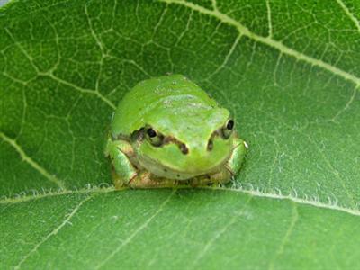 【生物】カエルの合唱に新説 周りにいるカエルとタイミングをずらして鳴き縄張り主張/理化学研究所など