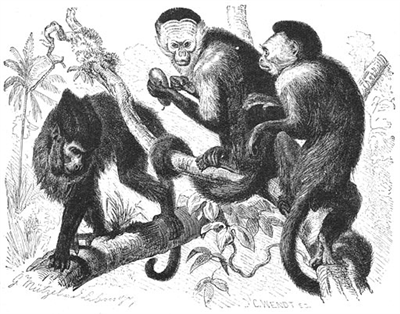 【伯剌西爾】オマキザルのメス、気を引くため群れのオスに石を投げる ※ただし実力者に限る