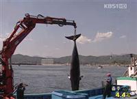 """去年、韓国の沿岸で""""偶然""""網にかかったクジラは2350頭、1日平均6.4頭"""