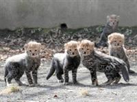 五つ子チーターの赤ちゃん初公開、うち2匹は毛皮がしま模様の世界的に珍しい「キングチーター」…9日から多摩動物公園(写真)