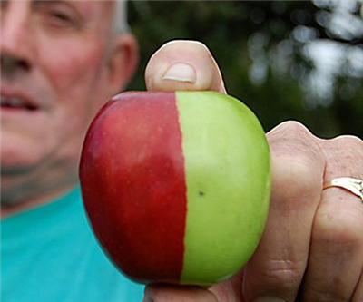 これが伝説の「禁断の果実」か!突然変異のキメラリンゴが凄いと話題に