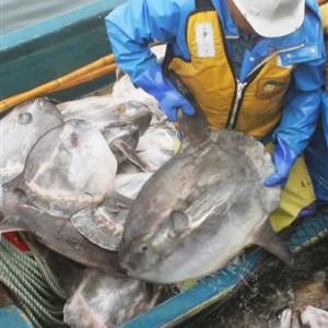 北海道でなぜかマンボウが大漁…漁師は困惑
