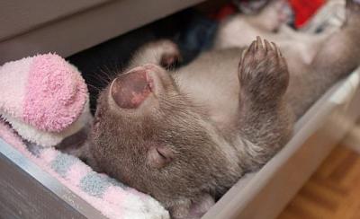 【動物】ウォンバットの赤ちゃん 引き出しを開けて衣服を枕にして眠る