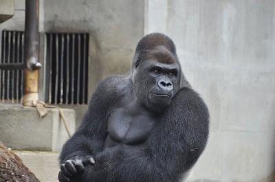 【動物】イケメンすぎる?名古屋・動物園のゴリラがSNSで話題に