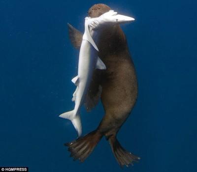 【動物】オットセイがサメを捕食する決定的瞬間が撮影され海洋生物学者が困惑
