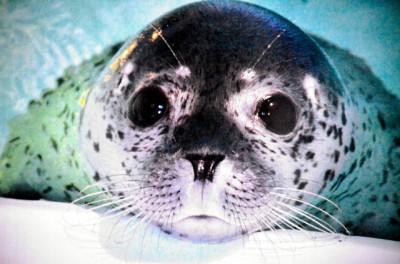 【動物】山形県鶴岡市立加茂水族館がゴマフアザラシの名前を、英王室のシャーロット・エリザベス・ダイアナ王女にちなみ「エリザベス」と決めたと発表