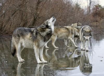 【米国】オオカミを放った国立公園で、20年後に「すごいこと」が起こった